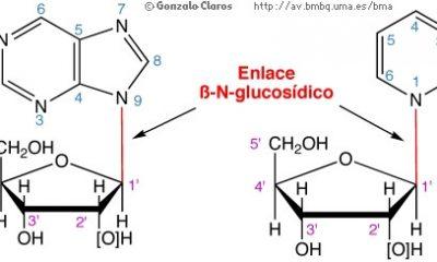 AionSur nucleosidos-400x240 Investigadores de Sevilla participan en una terapia molecular contra una enfermedad muscular degenerativa Salud Sevilla