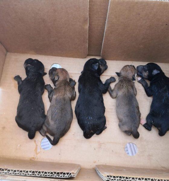 AionSur Cachorros-perros-Alcala-560x600 La Policía de Alcalá rescata a cinco cachorros tirados en una bolsa a un contenedor Alcalá de Guadaíra Sucesos  destacado