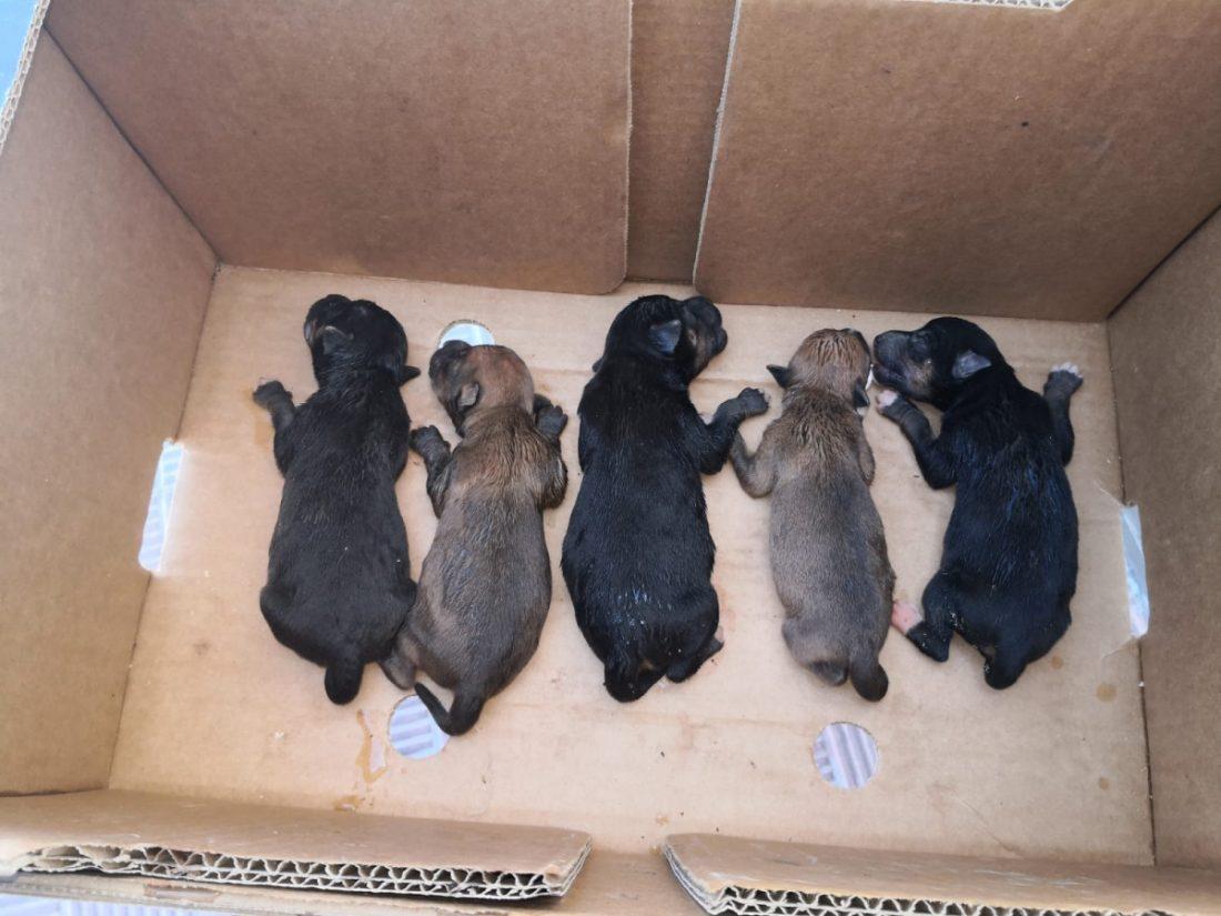 AionSur Cachorros-perros-Alcala La Policía de Alcalá rescata a cinco cachorros tirados en una bolsa a un contenedor Alcalá de Guadaíra Sucesos  destacado