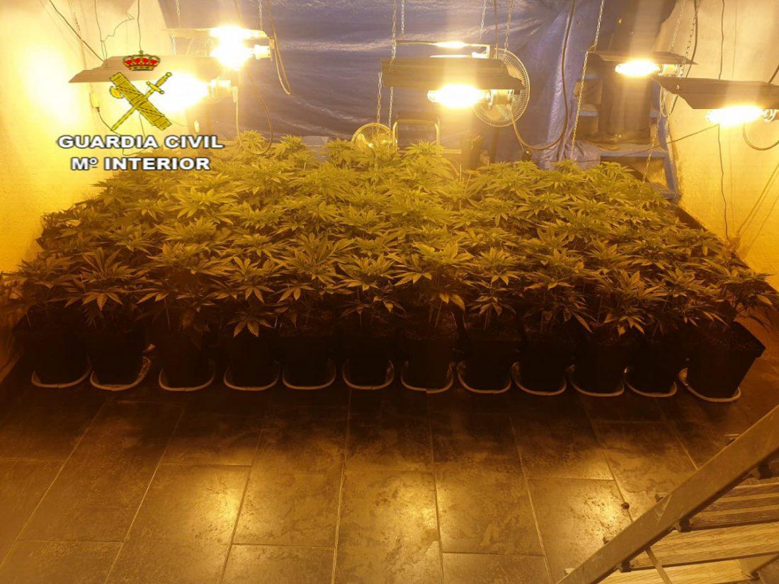 AionSur Marihuana-El-Coronil Desmantelada una plantación de marihuana en El Coronil con más de 1.300 plantas El Coronil Narcotráfico Sucesos