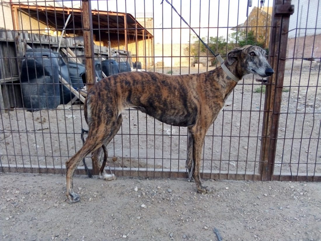 AionSur 7991d47f-cd85-47f9-841c-a3dc7c558d96-compressor Una galga, última víctima de robo de perros de cazadores en Arahal Arahal Sucesos Una galga destacado