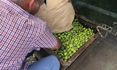 AionSur IMG_5594-1-compressor-400x240 El verdeo en Arahal, pendiente de que suban los precios por la escasez de la producción Agricultura Arahal  destacado