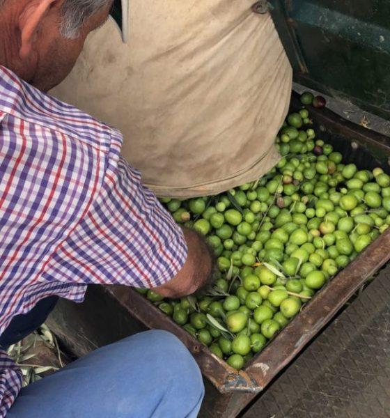 AionSur IMG_5594-1-compressor-560x600 El verdeo en Arahal, pendiente de que suban los precios por la escasez de la producción Agricultura Arahal  destacado