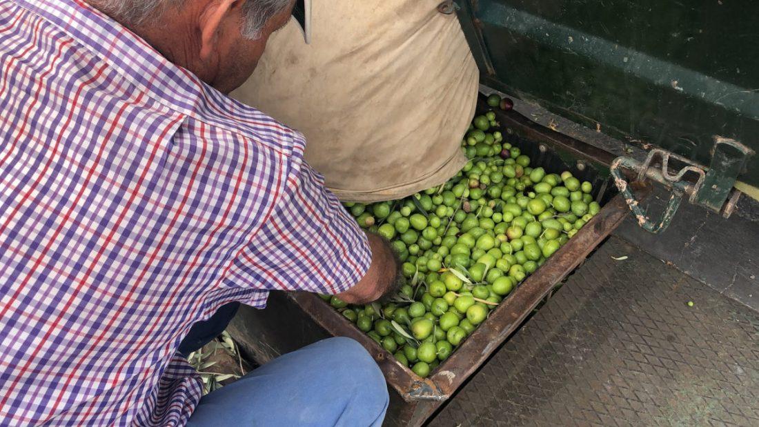 AionSur IMG_5594-1-compressor El verdeo en Arahal, pendiente de que suban los precios por la escasez de la producción Agricultura Arahal  destacado