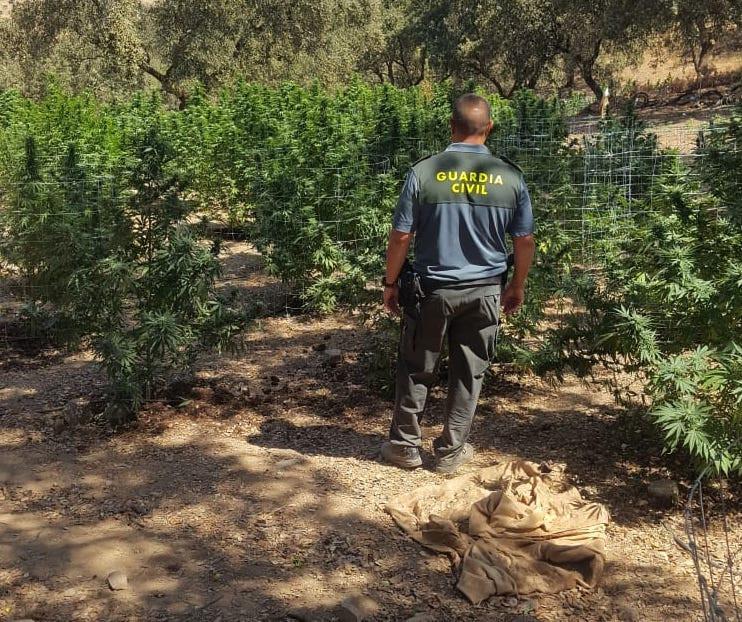 AionSur Marihuana-castillo-guardas Desmantelada una plantación de marihuana en El Castillo de las Guardas Sin categoría