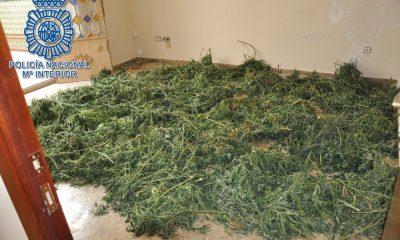 AionSur marihuana-moron-400x240 Dos detenidos y desmantelada una plantación de marihuana en Morón Morón de la Frontera Sucesos