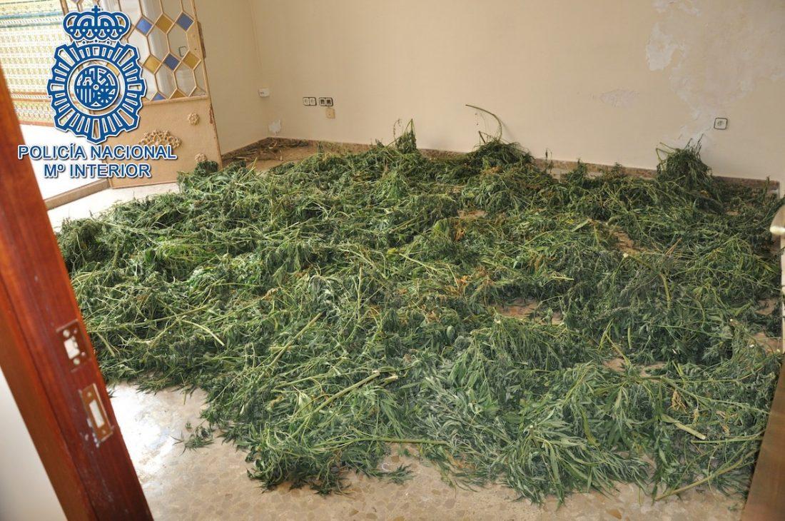 AionSur marihuana-moron Dos detenidos y desmantelada una plantación de marihuana en Morón Morón de la Frontera Sucesos