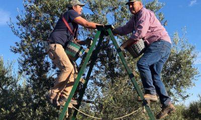 """AionSur IMG_7185-compressor-400x240 """"Con la IGP, el consumidor va a saber que las aceitunas son manzanillas de Sevilla y no de Egipto"""" Agricultura Arahal  destacado"""
