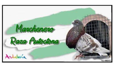 AionSur palomo-400x240 El Palomo Marchenero, a punto de ser declarado especie única Marchena Sociedad