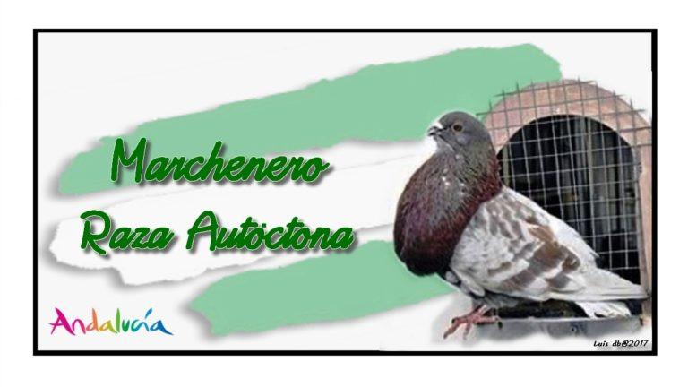 AionSur palomo El Palomo Marchenero, a punto de ser declarado especie única Marchena Sociedad