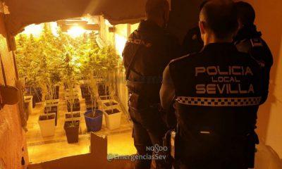 AionSur marihuana-400x240 La Policía acude a una llamada por una pelea en Sevilla y descubre una plantación de marihuana Sevilla Sucesos