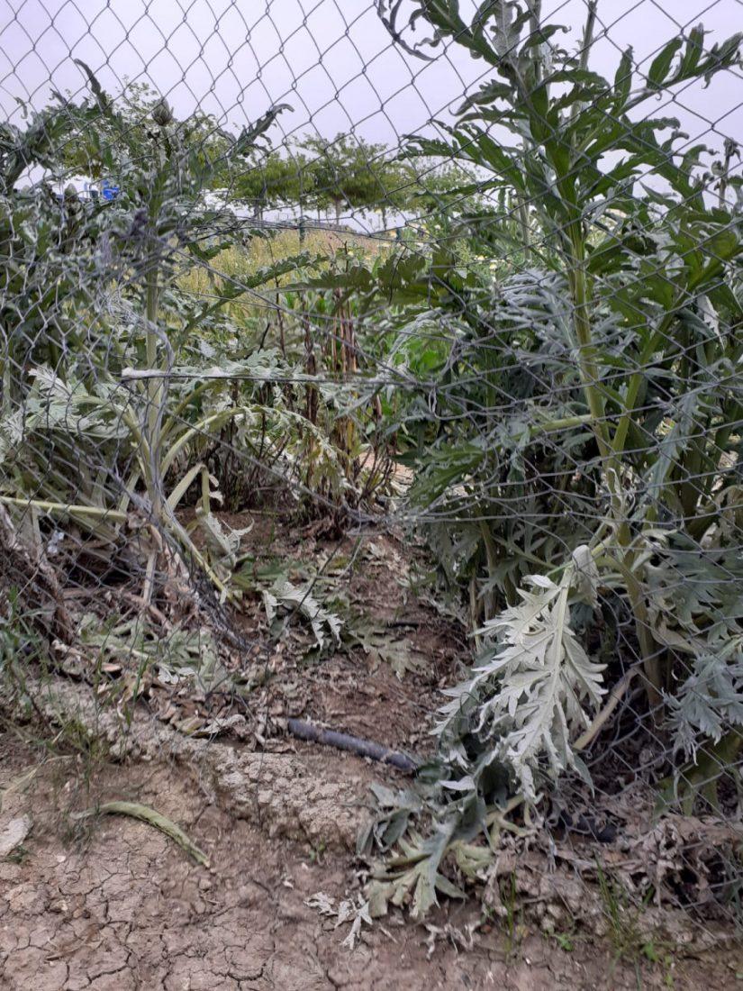 AionSur 31903f20-5129-4bb3-9d06-031fd43606e1-compressor Rompen la valla de los huertos sociales para poder acceder a los mismos durante el confinamiento Arahal
