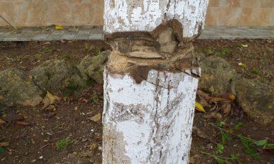AionSur Benacazon-arbol-400x240 Investigan ataques a árboles en Benacazón por personas que se saltan el confinamiento Coronavirus Sucesos