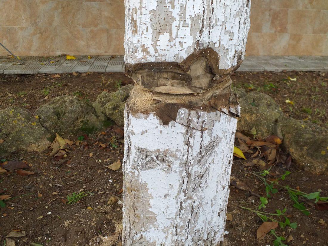 AionSur Benacazon-arbol Investigan ataques a árboles en Benacazón por personas que se saltan el confinamiento Coronavirus Sucesos