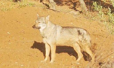 AionSur b4fa35fe-d6ea-44ef-8d4b-a2f715bc26a7-compressor-400x240 Lobos en la zona rural de Llanoverde en Arahal Animales Arahal destacado