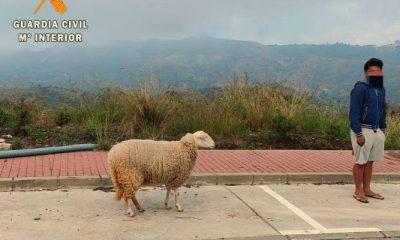 AionSur oveja-400x240 Denunciado por salir a la calle con la excusa de pasear una oveja Coronavirus Málaga