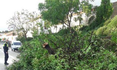AionSur arbol-coripe-400x240 El temporal provoca la caída de un árbol de grandes dimensiones en una calle de Coripe Coripe Sucesos