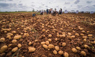 AionSur patata-nueva-La-Rinconada-400x240 La Rinconada convoca un concurso que premia con su peso en patatas a una familia Economía Sociedad  destacado