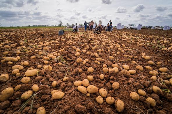AionSur: Noticias de Sevilla, sus Comarcas y Andalucía patata-nueva-La-Rinconada La Rinconada convoca un concurso que premia con su peso en patatas a una familia Economía Sociedad destacado