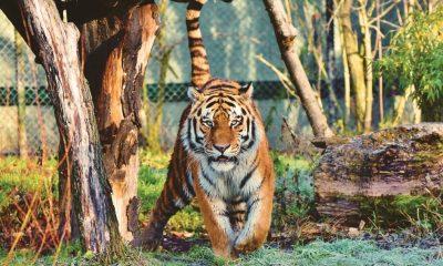 AionSur tigre-1024x708-1-400x240 Un tigre evita un robo en una finca de Huelva Huelva Sucesos