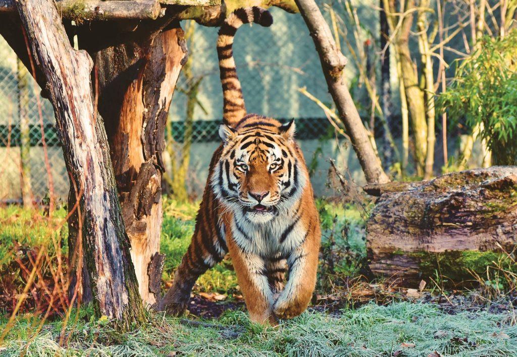 AionSur tigre-1024x708-1 Un tigre evita un robo en una finca de Huelva Huelva Sucesos
