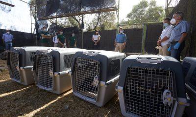 AionSur: Noticias de Sevilla, sus Comarcas y Andalucía 200628_buitres-2-min-400x240 La Junta envía a Francia cinco buitres negros para culminar el proceso de su recuperación Andalucía Animales