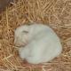 AionSur Leon-blanco-80x80 Nace en Guillena el primer león blanco en cautividad en España Animales Guillena Naturaleza Provincia  destacado