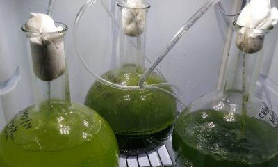 AionSur algae2-400x240 Crean un sistema que permite cultivar de forma masiva microalgas para usarlas como abono Andalucía Economía