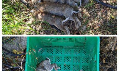 AionSur caza-cazalla-400x240 Denunciados en La Puebla de Cazalla por cazar conejos fuera de veda y sin licencia La Puebla de Cazalla Sociedad