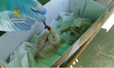 AionSur cernicalos-venta-sevilla-min-400x240 Dos jóvenes de El Viso investigados por vender pollos de cernícalos por internet Animales Sucesos  destacado