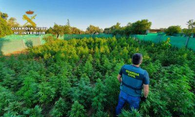 AionSur foto-marihuana-400x240 Intervenidas 1.140 plantas de marihuana y tres vecinos detenidos en Utrera Sucesos Utrera