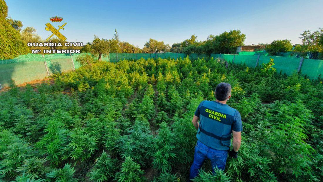 AionSur foto-marihuana Intervenidas 1.140 plantas de marihuana y tres vecinos detenidos en Utrera Sucesos Utrera
