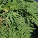 AionSur marihuana-la-antilla-1-80x80 Operación contra el tráfico de marihuana en varias viviendas de La Puebla de Cazalla La Puebla de Cazalla Narcotráfico Sucesos destacado