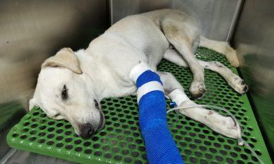 AionSur perro-atropellado-400x240 Se busca familia urgentemente para un perro atropellado en Huelva Huelva Sociedad Sucesos