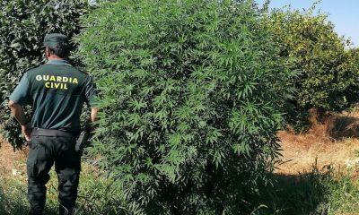 AionSur CANTILLANA-MARIHUANA-copia-400x240 Cultivaba marihuana en un campo de Cantillana disimulada entre naranjos Narcotráfico Sucesos