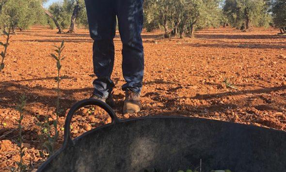 Los agricultores de Arahal, más preocupados por el Covid que por el precio de la aceituna