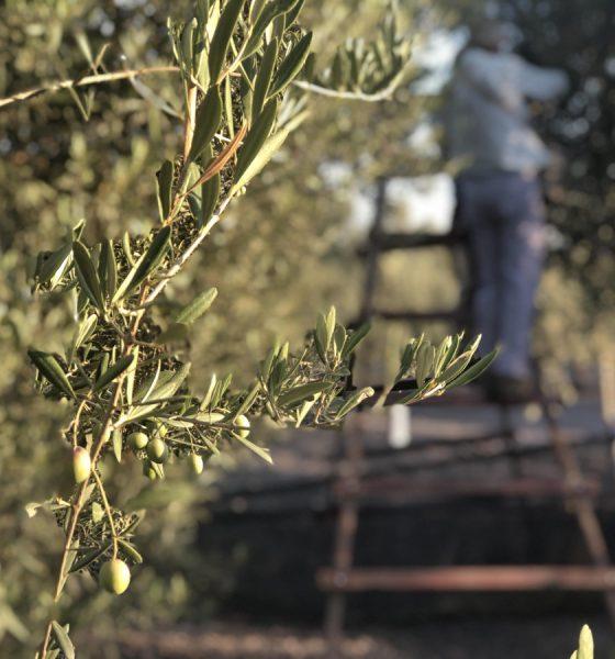 AionSur IMG_5672-min-560x600 Arrancan los cursos y jornadas de Ifapa sobre olivar para el curso 2020-2021 Formación y Empleo