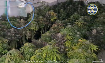 AionSur Marihuana_4-400x240 Investigan un fraude en el fluido eléctrico y descubren en su casa 600 plantas de marihuana Narcotráfico
