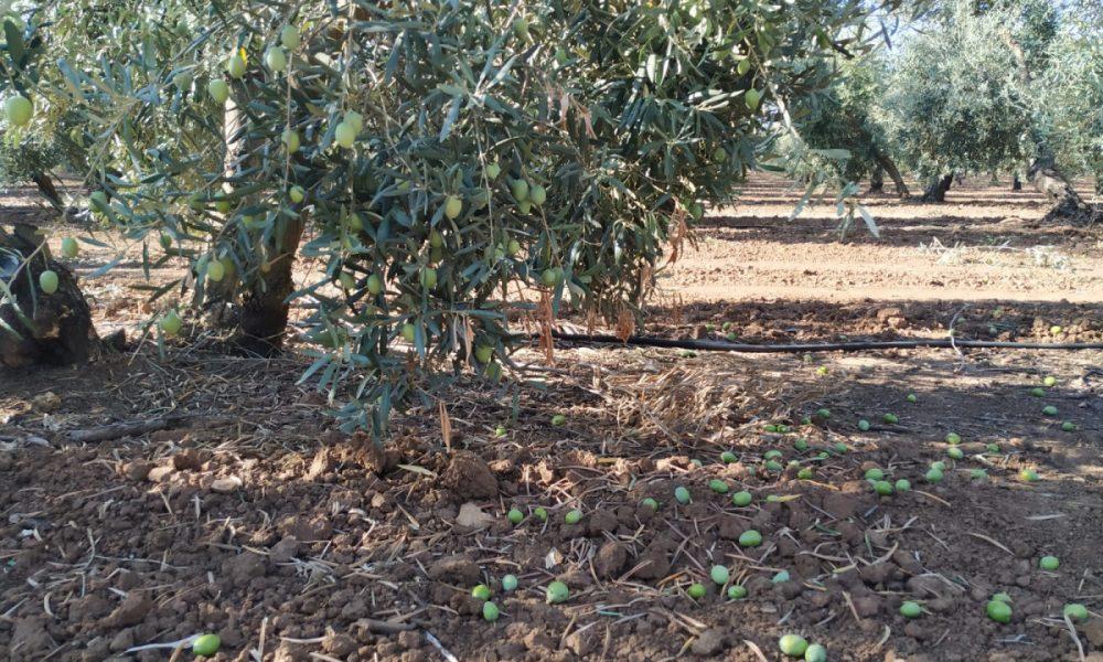 Cuatro robos de aceitunas registrados en Arahal en menos de una semana