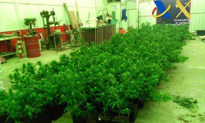 AionSur marihuana-400x240 Dos detenidos e incautadas más de 600 plantas de marihuana en Osuna Narcotráfico Sin categoría