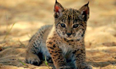 """AionSur Lince-cria-min-400x240 El nuevo """"baby boom"""" de la naturaleza en Andalucía Animales destacado"""