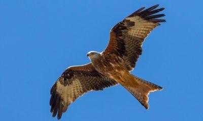 AionSur 201102_suelta-milanos-2-min-400x240 Liberados tres milanos reales en el Parque Natural de Cazorla Animales