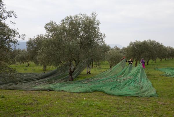 AionSur ESTEPA-olivar La campaña de aceite ecológico en Estepa llegará a los 36 millones de kilos Economía