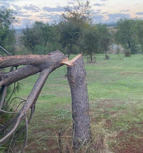 AionSur Pinos-ataque-560x600 Destrozan de madrugada un pinar a las afueras de Gerena Gerena destacado