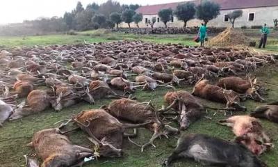 """AionSur ciervos-caza-portugal-400x240 Investigan una cacería con casi 600 animales abatidos para """"limpiar"""" un terreno Sucesos destacado"""