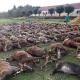 """AionSur ciervos-caza-portugal-80x80 Investigan una cacería con casi 600 animales abatidos para """"limpiar"""" un terreno Sucesos destacado"""
