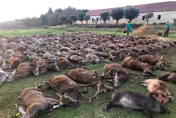 """AionSur ciervos-caza-portugal Investigan una cacería con casi 600 animales abatidos para """"limpiar"""" un terreno Sucesos destacado"""