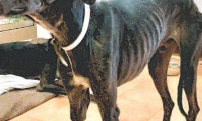 AionSur galgos-maltrata-400x240 Un vecino de Fuentes de Andalucía, denunciado por maltrato animal Sucesos destacado