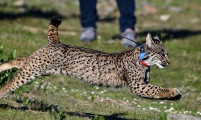 AionSur Suelta-lince-Quincha-min-400x240 La Junta libera cinco linces en 2020 para facilitar el intercambio genético y reforzar la población Animales