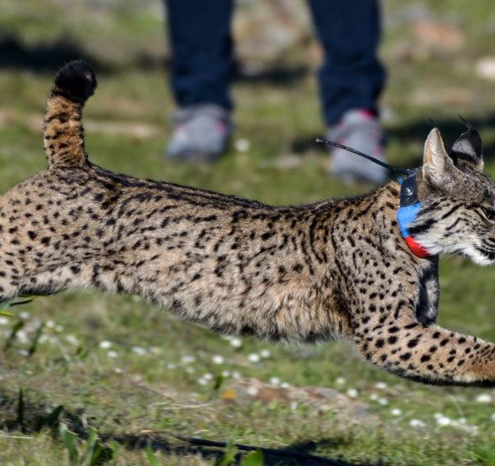 AionSur Suelta-lince-Quincha-min-560x527 La Junta libera cinco linces en 2020 para facilitar el intercambio genético y reforzar la población Animales